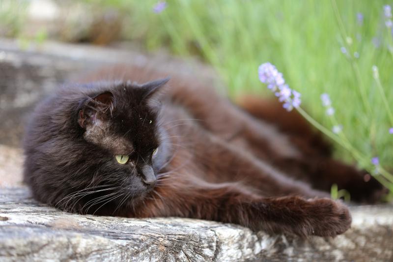 Strebermiezen Blog - schwarzer Perser-Mix Katze